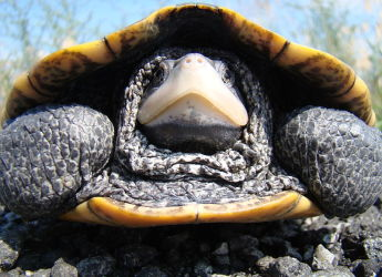 Adult_Diamondback_terrapin