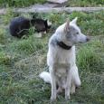 altai husky
