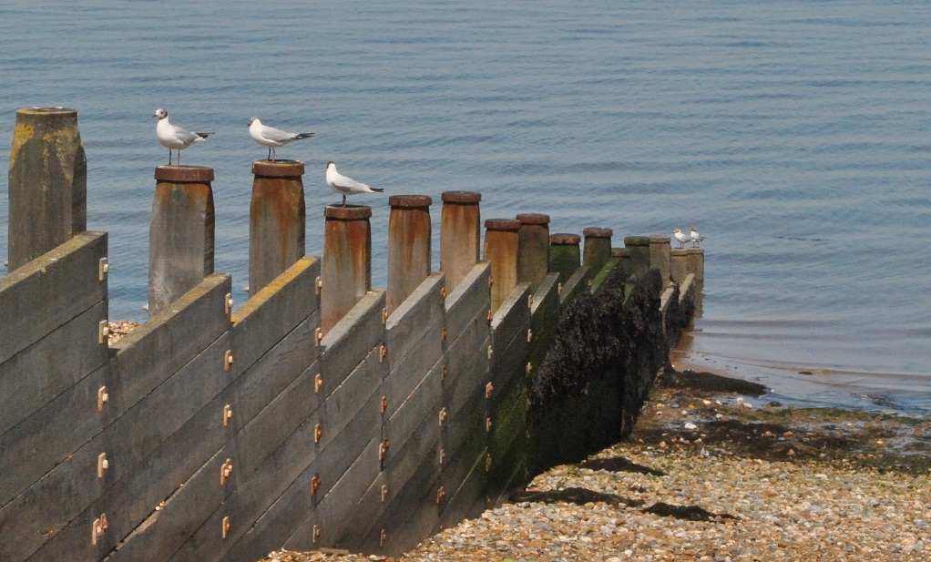 black headed gulls chilling at the beach