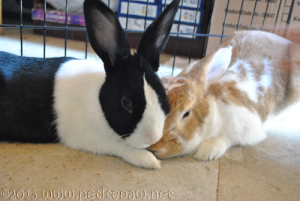 bonded neutered bunnie
