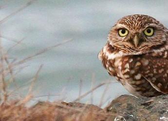 burrowing-owl-bird-athene-cunicularia-hypugea_w725_h335