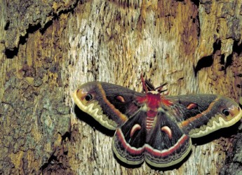 cecropia-moth-insect-hyalophora-cecropia_w725_h471