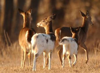 herd-of-piebald-deer-mammals