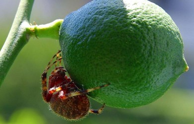 fruit eating insect - limes and spiders