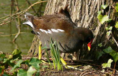 Moorhen (Gallinula chloropus) by menu4340, on Flickr