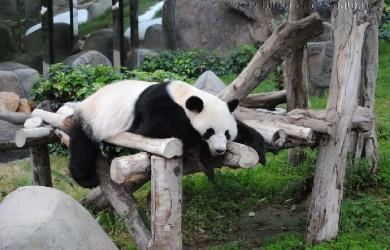 panda at Ocean Park