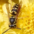 wasps-hornets-insect_w725_h544