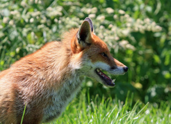 what to do when foxes in garden