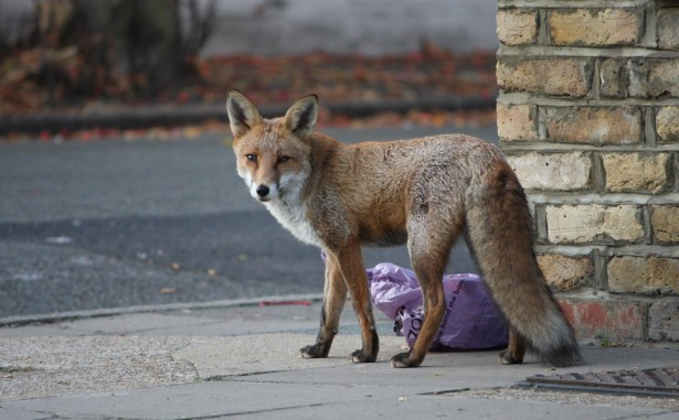 fox-in-the-street