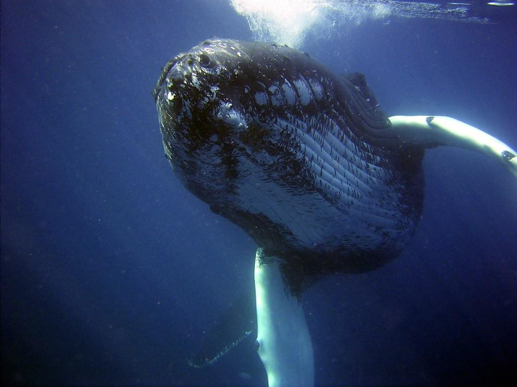 humpback-79854_1280