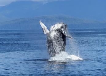 humpback-whale-431902_1920