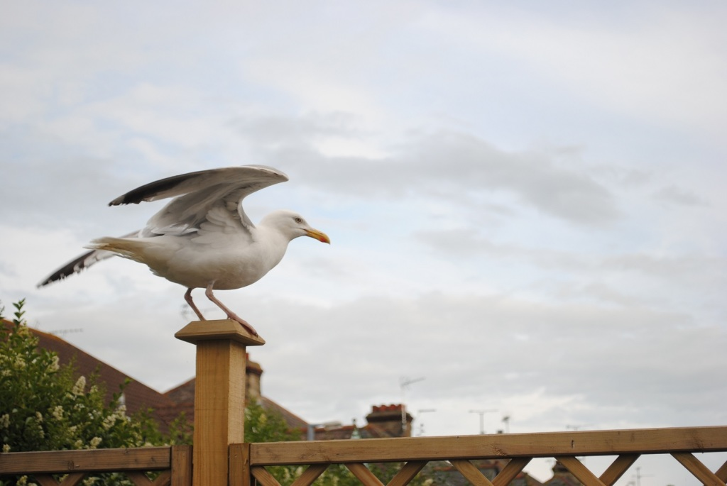 A herring gull with it's wings opening