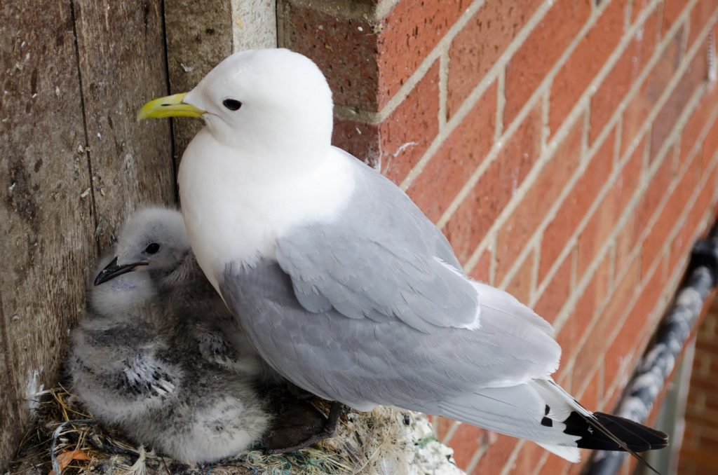 About Seagulls and Seagull Babies