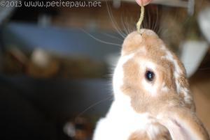 Rabbit eating